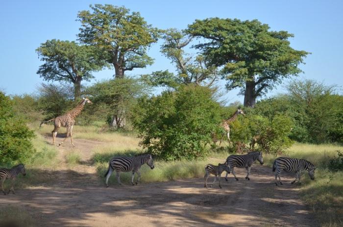 Bandia_Giraffe&Zebra