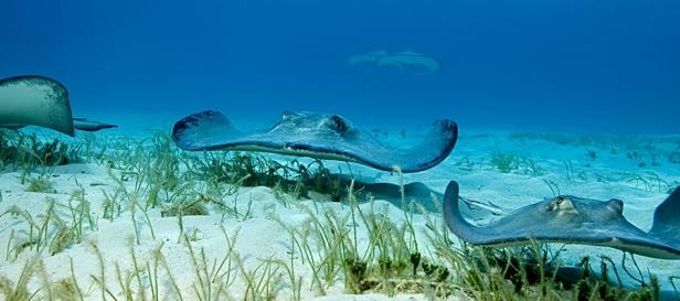 Bahamas.StingrayCity1
