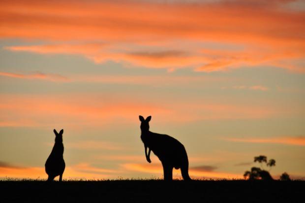 kangarooskangaroos-in-melbournekangaroos-in-the-wi