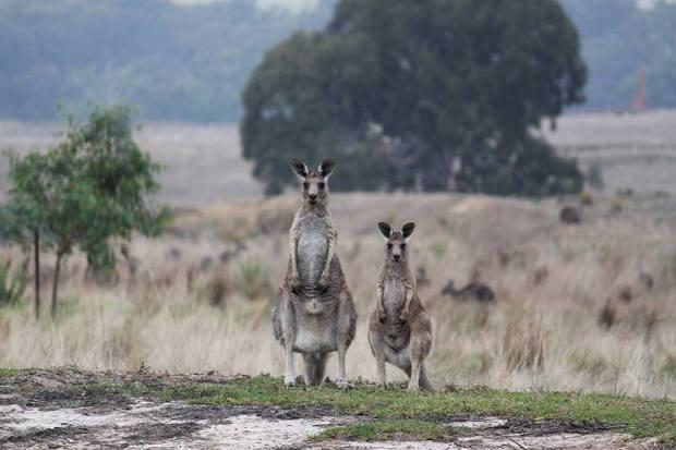 kangarooskangaroos-in-melbournekangaroos-in-the-wi51.jpg